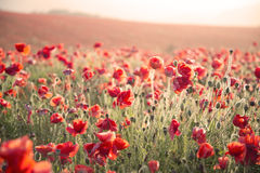 Stunning poppy field landscape under Summer sunset sky with cross processed retro style effect