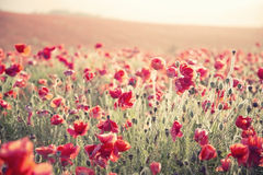 Stunning Poppy Field Landscape Under Summer Sunset Sky With Cross Processed Retro Style Effect Royalty Free Stock Photo
