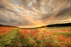Stunning poppy field at sunrise in Norfolk UK Royalty Free Stock Photography