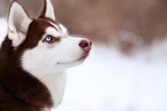 Stunning portrait of brown husky dog Stock Photos