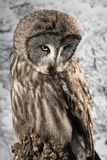 Stunning portrait of Great Grey Owl Strix Nebulosa in studio setting with snowy Winter background. Beautiful portrait of Great Grey Owl Strix Nebulosa in studio stock image