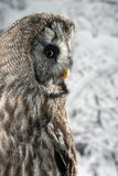 Stunning portrait of Great Grey Owl Strix Nebulosa in studio setting with snowy Winter background. Beautiful portrait of Great Grey Owl Strix Nebulosa in studio stock photography