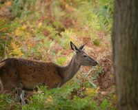Stunning portrait of red deer hind in colorful Autumn forest lan. Beautiful portrait of red deer hind in colorful Autumn forest landscape stock photos