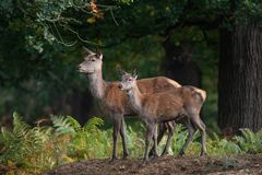 Stunning portrait of red deer hind in colorful Autumn forest lan. Beautiful portrait of red deer hind in colorful Autumn forest landscape stock photo