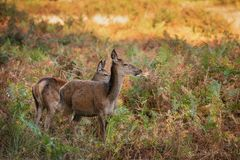 Stunning portrait of red deer hind in colorful Autumn forest lan. Beautiful portrait of red deer hind in colorful Autumn forest landscape stock images