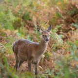 Stunning portrait of red deer hind in colorful Autumn forest lan. Beautiful portrait of red deer hind in colorful Autumn forest landscape royalty free stock image