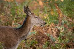 Stunning portrait of red deer hind in colorful Autumn forest lan stock photos