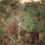 Stunning portrait of red deer hind in colorful Autumn forest landscape. Beautiful portrait of red deer hind in colorful Autumn forest landscape royalty free stock photo