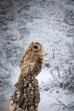 Stunning portrait of Tawny Owl Strix Aluco on Winter snow forest background. Beautiful Tawny Owl Strix Aluco on Winter snow forest background stock photo