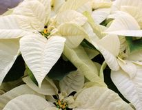 Stunning potted poinsettia plant in the bright white color of Wintertime royalty free stock images