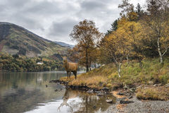 Stunning powerful red deer stag looks out across lake towards mo Royalty Free Stock Image