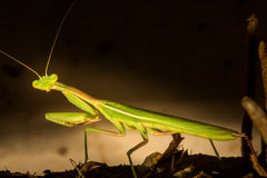 Stunning Preying Mantis Looks Into The Camera Royalty Free Stock Photography
