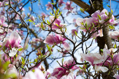 Stunning punch of magnolia Stock Photography
