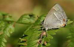 A stunning Purple Hairstreak Butterfly Favonius quercus perching on a bracken leaf in woodland in the UK. Royalty Free Stock Image
