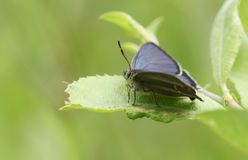 A stunning Purple Hairstreak Butterfly Favonius quercus perching on a leaf in woodland with spread wings. A Purple Hairstreak Butterfly Favonius quercus royalty free stock images