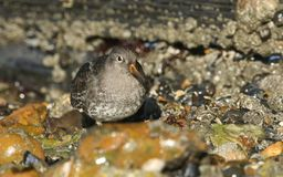 A stunning Purple Sandpiper Calidris maritima feeding along the shoreline at the coast in the UK. A Purple Sandpiper Calidris maritima feeding along the Royalty Free Stock Photos