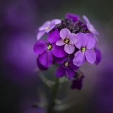 Stunning purple Spring flowers with shallow depth of field Stock Photography