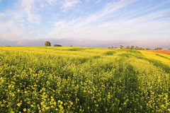 Stunning rape field and blue s. Ky with white clouds Stock Images