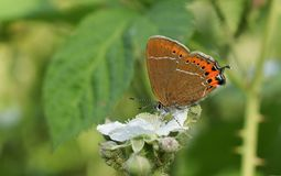 A stunning rare Black Hairstreak Butterfly Satyrium pruni  nectaring on a blackberry flower. A pretty rare Black Hairstreak Butterfly Satyrium pruni  nectaring Royalty Free Stock Image