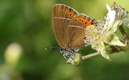 A stunning rare Black Hairstreak Butterfly Satyrium pruni perching on a blackberry flower. A pretty rare Black Hairstreak Butterfly Satyrium pruni perching on a Stock Photography