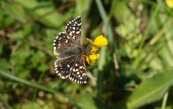 A pretty rare Grizzled Skipper Butterfly Pyrgus malvae nectaring on a flower. A stunning rare Grizzled Skipper Butterfly Pyrgus malvae nectaring on a flower Stock Photo