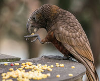 Kaka bird delicately eats corn from claw. This beautiful endangered New Zealand Kaka parrot dropped into our backyard for a visit royalty free stock images