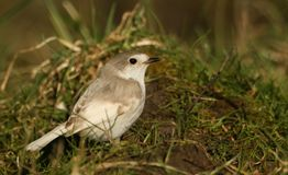 A rare Leucistic Robin Erithacus rubecula perched on the grass searching for insects to eat. Stock Photo