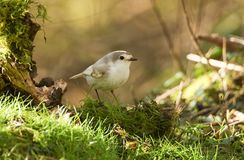 A rare Leucistic Robin Erithacus rubecula perched on the grass searching for insects to eat. Royalty Free Stock Images
