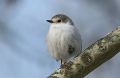 A stunning rare Leucistic Robin Erithacus rubecula perched in a tree on a cold winters morning. A rare Leucistic Robin Erithacus rubecula perched in a tree on a Royalty Free Stock Image