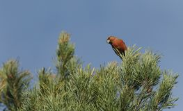 A stunning rare male Parrot Crossbill Loxia pytyopstittacus perched on a branch of a pine tree. A rare male Parrot Crossbill Loxia pytyopstittacus perched on a Royalty Free Stock Images