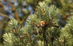 A stunning rare male Parrot Crossbill Loxia pytyopstittacus perched in the branches of a pine tree eating the cones. A rare male Parrot Crossbill Loxia Stock Image