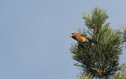 A stunning rare male Parrot Crossbill Loxia pytyopstittacus perched at the top of a fir tree in winter. It has been feeding on t. A rare male Parrot Crossbill Royalty Free Stock Photo