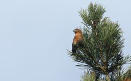 A stunning rare male Parrot Crossbill Loxia pytyopstittacus perched at the top of a fir tree in winter. It has been feeding on t. A rare male Parrot Crossbill Stock Photo