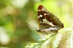 A stunning rare Male Purple Emperor Butterfly Apatura iris perching on a bracken leaf in woodland. A beautiful rare Male Purple Emperor Butterfly Apatura iris royalty free stock photography