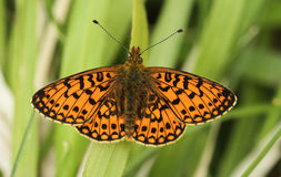 A stunning rare Small Pearl-bordered Fritillary Butterfly, Boloria selene , perched on grass with its wings spread. stock image