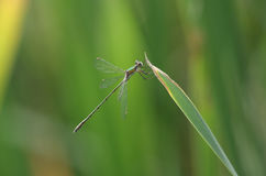 A stunning rare Willow Emerald Damselfly Chalcolestes viridis perched on a reed. Stock Image