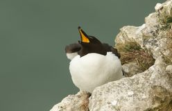 A stunning Razorbill Alca torda perching on the edge of a cliff in the UK, with its beak open and wings slightly raised looking stock photo