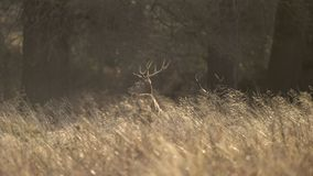 Beautiful red deer stag Cervus Elaphus with majestic antelrs in Autumn Fall froest landscape. Stunning red deer stag Cervus Elaphus with majestic antelrs in stock photography