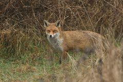 A magnificent Red Fox Vulpes vulpes searching for food to eat at the edge of shrubland. A stunning Red Fox Vulpes vulpes searching for food to eat at the edge royalty free stock image