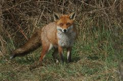 A magnificent Red Fox Vulpes vulpes searching for food to eat at the edge of shrubland. A stunning Red Fox Vulpes vulpes searching for food to eat at the edge stock photography
