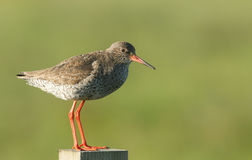 A stunning Redshank Tringa totanus perched on a post. Royalty Free Stock Photo