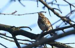 A stunning Redwing Turdus iliacus perched on a branch in a tree. A pretty Redwing Turdus iliacus perched on a branch in a tree Stock Photography