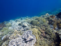 Stunning reef wall at Menjangan Island. Its always great to see large areas of healthy hard and soft corals and that's exactly what you get on the walls and reef royalty free stock photo