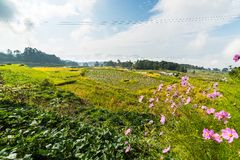 Stunning rice paddies landscape Royalty Free Stock Photography