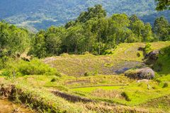 Stunning rice paddies landscape in Indonesia Royalty Free Stock Photo