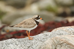 A stunning Ringed Plover Charadrius hiaticula perched on a rock on the shoreline. Royalty Free Stock Photo