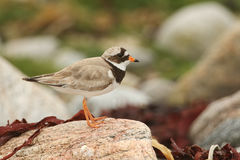 A stunning Ringed Plover Charadrius hiaticula perched on a rock on the shoreline. Royalty Free Stock Image