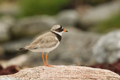 A stunning Ringed Plover Charadrius hiaticula perched on a rock on the shoreline. Stock Image