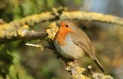 A pretty Robin Erithacus rubecula perched on a branch covered in lichen. A stunning Robin Erithacus rubecula perched on a branch covered in lichen Royalty Free Stock Photos