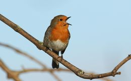 A stunning Robin Erithacus rubecula perched on a branch in a tree singing. A pretty Robin Erithacus rubecula perched on a branch in a tree singing Stock Photos